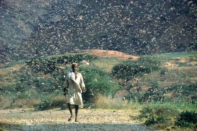 plaga langostas cuerno de africa