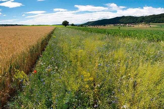 bandas de flores silvestres para disminuir el usos de pesticidas en Reino Unido