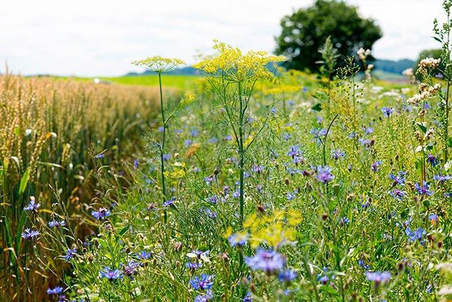 flores silvestres para disminuir el uso de pesticidas