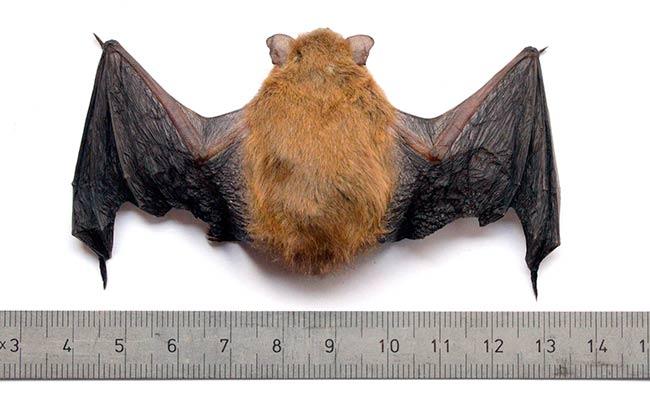 murcielago comun Pipistrellus pipistrellus