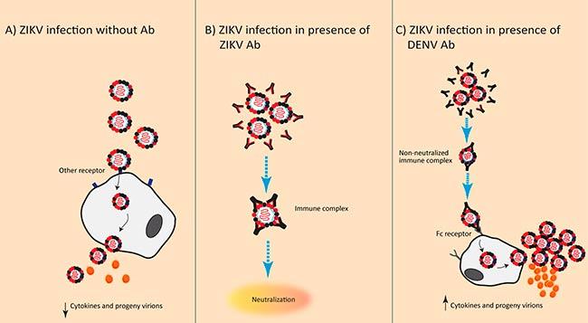 ADE anticuerpos del virus del Dengue en en virus Zika