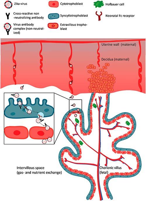 transcitosis flavivirus a traves de placenta