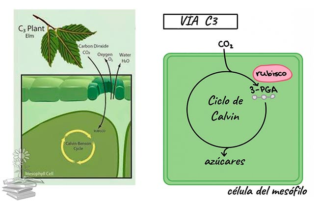 plantas C3