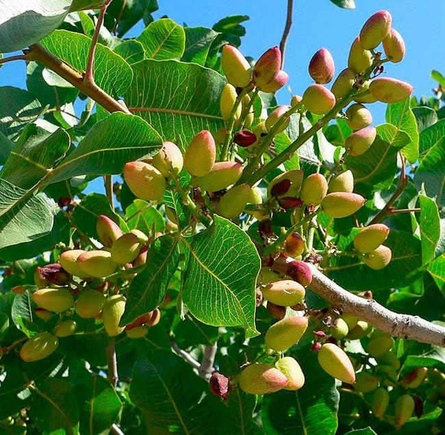 detalle pistachos arbol