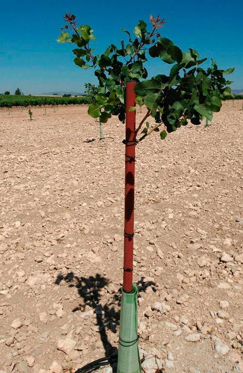 plantacion de pistacho