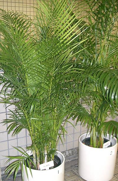 palma de bambu o palma areca
