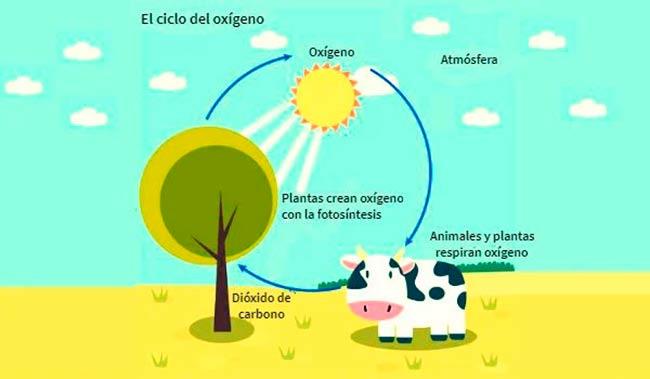 ciclo del oxigeno pdf o ciclo del oxigeno dibujo