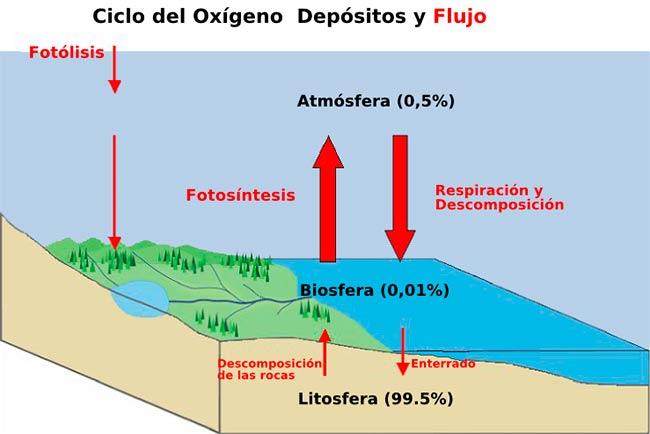 Ciclo del oxígeno importancia