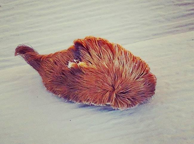oruga de pelo venenosa, oruga de gato