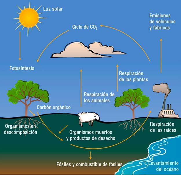 ciclo del carbono esquema o dibujo