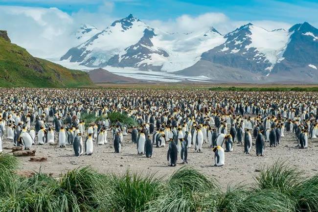 pingüinos rey Georgia del Sur