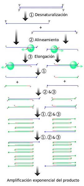 ciclo PCR pasos o etapas