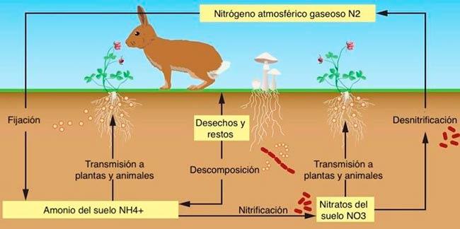 Ciclo del nitrógeno esquema