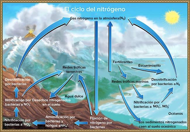 ciclo biogeoquimico del nitrogeno explicacion dibujo