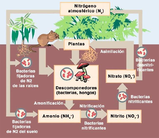 Ciclo del nitrógeno bacterias resumen etapas esquema