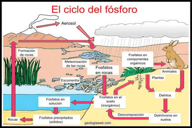 esquema ciclo del fosforo y azufre etapas