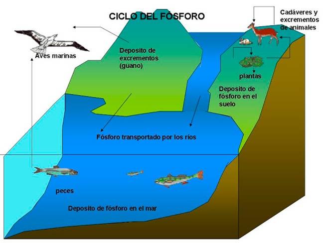 ciclo del fosforo marino