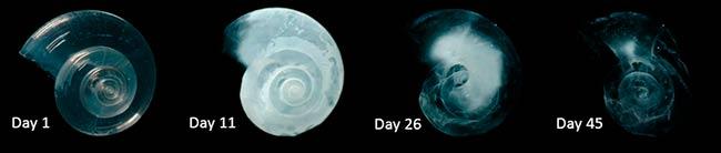 conchas de moluscos en aguas acidas