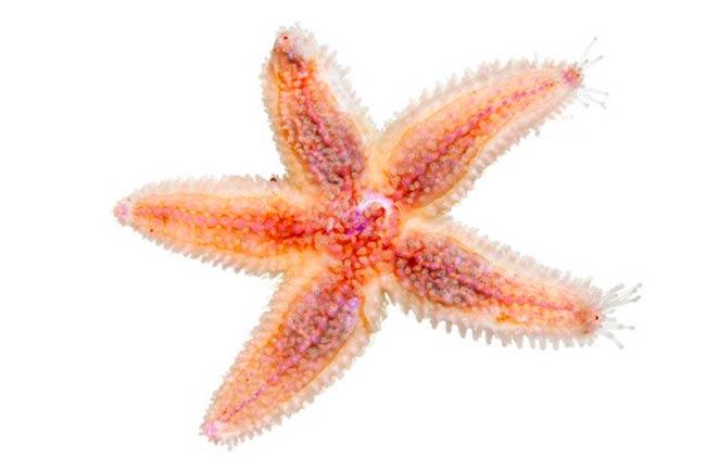 estrella de mar enferma agua acidificada