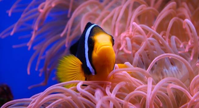 pez payaso acidificacion