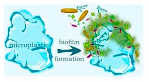 formacion biofilm en microplastico