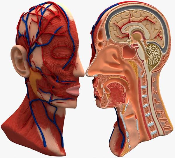 corte partes del cerebro humano